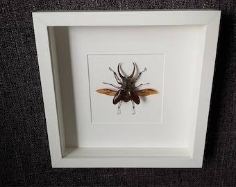 Stag beetle of Sphaenognathus feisthameli showcase