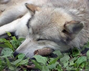 Sleeping Wolf Poster Version 3