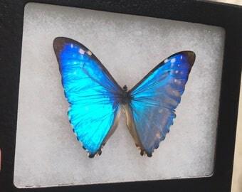 Framed Morpho Aurora Butterfly