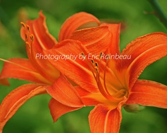 Orange Lily Flower Nature Photography Flower Photograph Picture