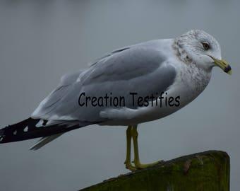 Nature photograph - Seagull