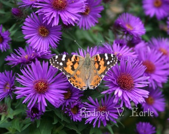 Butterfly on Purple Flowers Instant Digital Photo Download