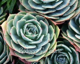 Succulent Plants With Dewdrops Instant Digital Photo Download