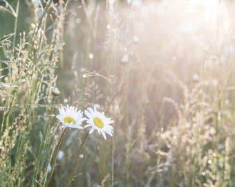 Daisy wildflower photography, fine art flower print,wildflower photo print, landscape photography, landscape floral print