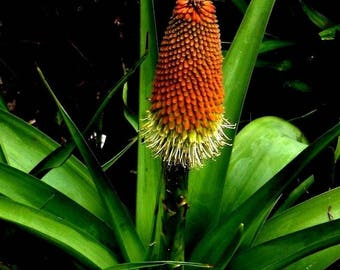 Giant Massive RED HOT POKER Kniphofia Northiae Biggest Flower! Up to 6 feet tall! 5 Seeds