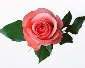 Perfect Pink Rose Cross Stitch Pattern