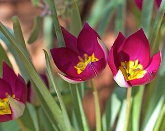 Persian Pearl Mini Tulips - 12 fresh bulbs