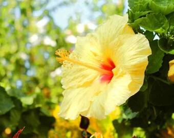 Yellow Hawaiian Flower Digital Image