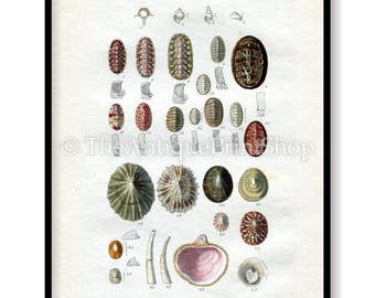 Shell Print Antique Reproduction. Plate X from British Shells by Sowerby pub. 1859. Wall Decor for, Hamptons, Shabby Chic, Beach House