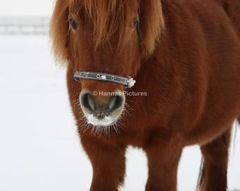 Shetland Pony In The Snow A4