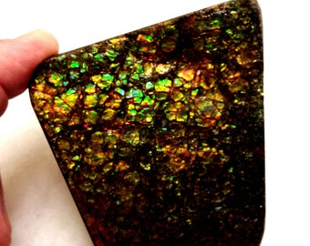 Alberta Ammolite Palm Sized! (Stabilized but not coated)
