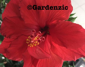 Red Hibiscus - Poster