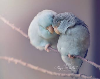 Parrotlets in love bird photography fine art photography wall art