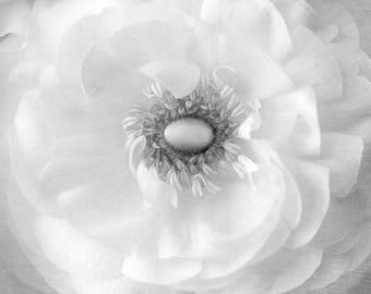 White Ranunculus Fine Art Print, Flower Photography, White Wall Art