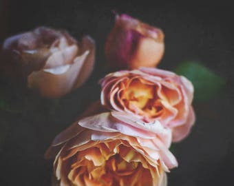 Peach Roses on Black, Fine Art Photography Print -  by Lupen Grainne