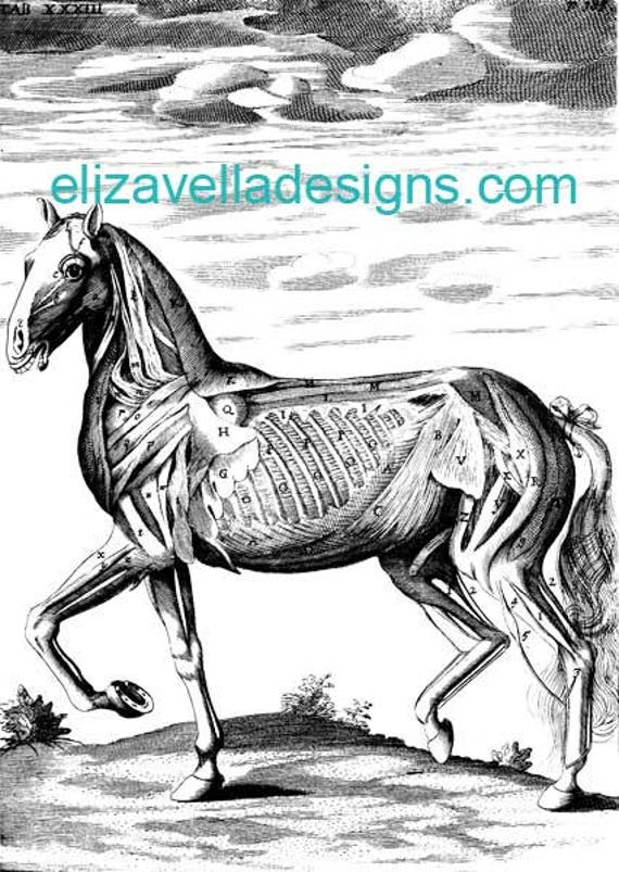 horse muscles skeleton anatomy printable art digital download image animal graphics clipart png clip art vintage science digital stamp