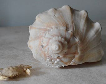 Ivory and Golden Whelk Seashell - Conch Shell - Beach Decor