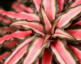 Bromeliad 'Red Earth Star' Cryptanthus zonatus
