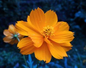 Angelic Marigold Face Balm
