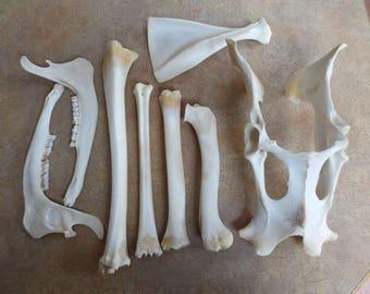 Natural Deer Bones - Pelvis Scapula Jaws Teeth Legs - Real Animal Bones