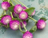 Gomphrena Seeds, Globe Amaranth, Bicolor Rose Gomphrena, Gomphrena haageana Seeds