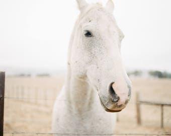 8 x 10 // Film Art Print // film Photograph // White horse