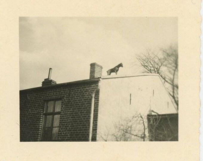 Dog on Roof [Watchdog]: Vintage Snapshot Photo [82654]