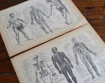 Human Body Prints 8x10 Download, Anatomy, Male Torso, Muscles, Skeleton, 1920s French Dictionary, Vintage Wall Decor, Scrapbooking, Ephemera