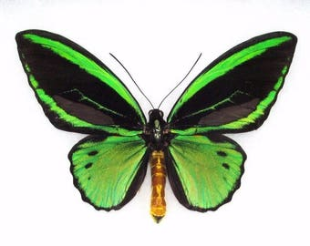 ONE Real butterfly Ornithoptera priamus poseidon birdwing green black unmounted wings closed