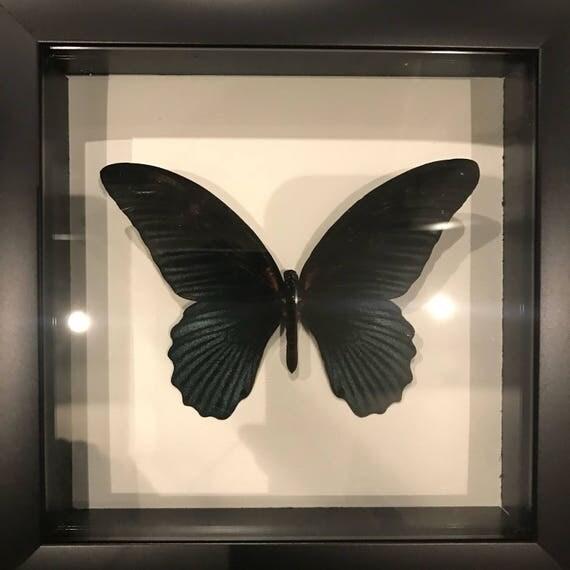 Real black papillio taxidermy display!