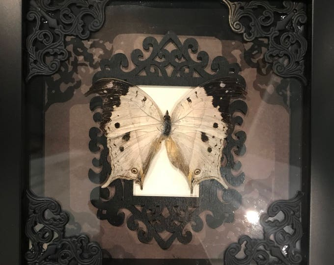 Gothic opal butterfly taxidermy display!