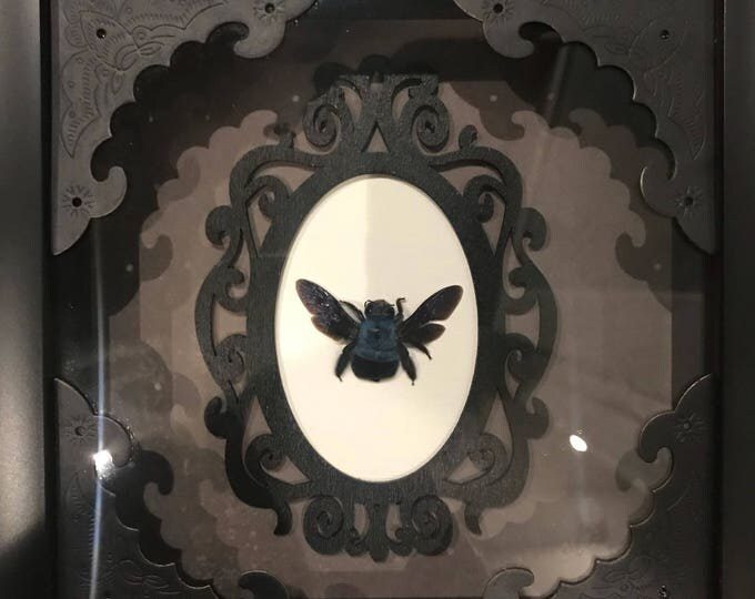 Real blue carpenter bee taxidermy display!