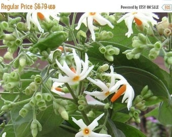 5 seeds Coral Jasmine Hummingbirds Butterflies Love- Fragrant White Flowers Easy Grower Tropical Perennial Nyctanthes arbor tristis