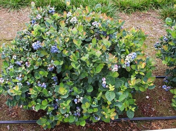 Top Hat Dwarf Blueberry Vaccinium Live Plant Quart Pot