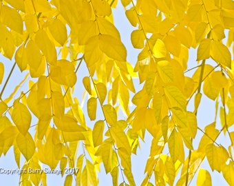 Yellow fall leaves with blue sky fine art print