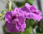 10 large bloom petunia seeds DUO LAVENDER big ruffled double blooms 6cm in diameter <Fresh seeds - Best before 12.2019!>