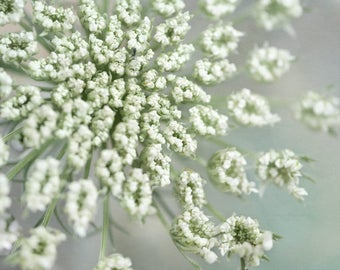 Large botanical print Queen Anne's Lace flower photography print, shabby chic wall art floral art print, cottage chic bedroom wall art decor
