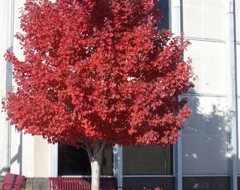 "2 Red Maple Trees (Acer Rubrum)4"" container"