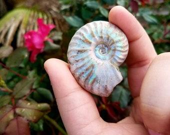 Ammonite Fossil ~ H7