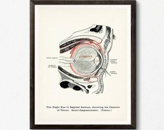 Human Eye Print, Digital Download, Optometrist Gift, Eye Anatomy Poster, Optometry Decor, Clinic Wall Art, Human Eye Illustration