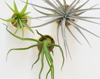 Bell Cup Tillandsia Planter // Air Plant Holder