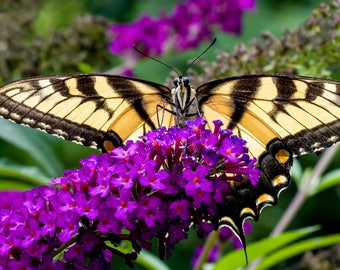 Digital Download: Tiger Swallowtail Butterfly photo