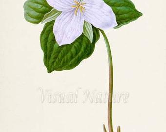 Trillium Flower Art Print, Botanical Art Print, Flower Wall Art, Flower Print, Floral Print, white lily