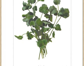 Coriander Botanical Watercolour Print. Mounted and Signed, Frame not included.