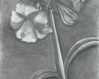 Amaryllis white 1 charcoal/eraser drawing