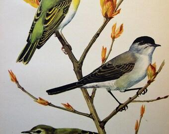 Warblers Triptych, 1947 Original Vintage Bird Biology Bookplate