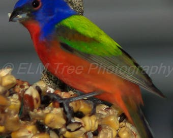 A stunning male Painted Bunting feeding on a honey seed cake Photograph