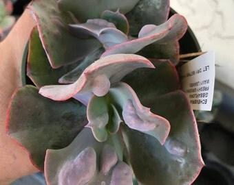 Double Head Echeveria Gibbiflora Hybrid