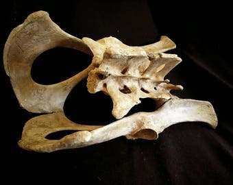 XL Articulated Beaver Pelvis: Grade A, Tea Stained, Professionally Cleaned - castor Canadensis, R917P