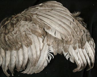 Grey Wings: Real Dried Wings, Non-Toxic - gallus gallus domesticus  CH065